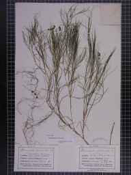 Potamogeton pectinatus herbarium specimen from Bidston Moss, VC58 Cheshire in 1874 by Mr John Harbord Lewis.