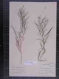Potamogeton pectinatus herbarium specimen from Kelso, VC80 Roxburghshire in 1875 by Mr Andrew Brotherston.
