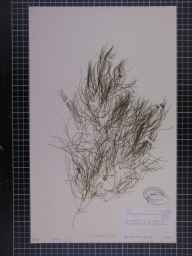Potamogeton pectinatus herbarium specimen from Welches Dam, VC29 Cambridgeshire in 1887 by Mr Alfred Fryer.