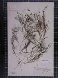 Potamogeton pectinatus herbarium specimen from Saint Mary's, Scilly Isles, VC1 West Cornwall in 1876 by Mr William Curnow.