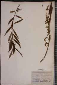 Salix triandra x viminalis var. undulata herbarium specimen from Richmond, VC17 Surrey in 1867 by John Gilbert Baker.