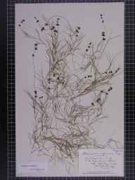 Potamogeton pectinatus herbarium specimen from Mepal, VC29 Cambridgeshire in 1897 by Mr Alfred Fryer.