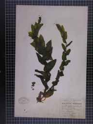 Potamogeton perfoliatus herbarium specimen from Droylsden, VC59 South Lancashire in 1948 by A Croker.