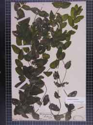 Potamogeton perfoliatus herbarium specimen from Knottingley, VC63 South-west Yorkshire in 1847.