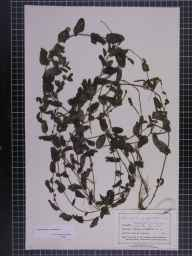 Potamogeton perfoliatus herbarium specimen from Willesden, VC21 Middlesex in 1881 by Dr Eyre Champion de Crespigny.