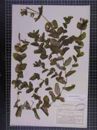 Potamogeton perfoliatus herbarium specimen from Limpley Stoke, VC6 North Somerset in 1893 by Mr Charles Bailey.