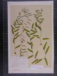 Potamogeton perfoliatus x crispus = P. x cooperi herbarium specimen from River Dee, VC58 Cheshire in 1890 by Mr Alfred Fryer.