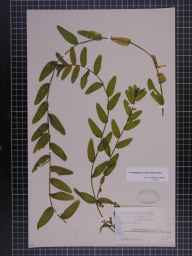 Potamogeton perfoliatus x crispus = P. x cooperi herbarium specimen collected in 1892 by Mr Alfred Fryer.