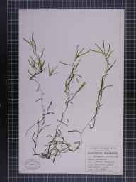 Potamogeton pusillus herbarium specimen from Openshaw, VC59 South Lancashire in 1948 by A Croker.