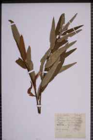 Salix viminalis x caprea = S. x smithiana herbarium specimen from Hitchin, VC20 Hertfordshire in 1923 by Mr Joseph Edward Little.