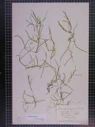 Potamogeton pusillus herbarium specimen from Barton Broad, VC27 East Norfolk in 1909 by Charles Edward Moss.