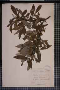 Salix viminalis x caprea x cinerea = S. x calodendron herbarium specimen from Norwich, VC27 East Norfolk in 1883 by Rev. Edward Francis Linton.