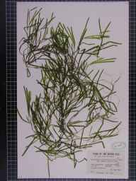 Potamogeton obtusifolius herbarium specimen from Preston, VC60 West Lancashire in 1946 by Mr James Edgar Dandy.