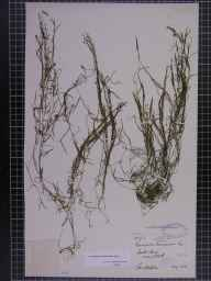 Potamogeton berchtoldii herbarium specimen from York, VC61 South-east Yorkshire in 1881 by Mr George Webster.