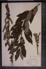 Salix viminalis x caprea x cinerea = S. x calodendron herbarium specimen from Essex in 1869 by Mr Charles Bailey.