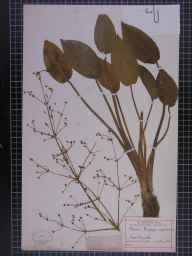 Alisma plantago-aquatica herbarium specimen from Cheadle, VC58 Cheshire in 1878 by Prof Thomas Barker.