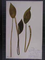 Alisma plantago-aquatica herbarium specimen from Llyn Coron, VC52 Anglesey in 1953 by Dr Effie Moira Rosser (The Manchester Museum).