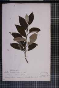 Salix viminalis x caprea x cinerea = S. x calodendron herbarium specimen from Fossoway, VC87 West Perthshire in 1875.