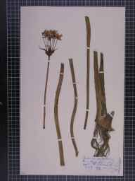 Butomus umbellatus herbarium specimen from Crosby, VC59 South Lancashire in 1872 by Mr John Harbord Lewis.