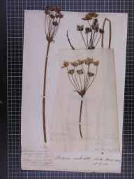 Butomus umbellatus herbarium specimen from Norton Marsh, VC58 Cheshire by Mr Richard Buxton.