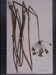 Butomus umbellatus herbarium specimen from Harefield, VC21 Middlesex in 1883 by Dr Eyre Champion de Crespigny.