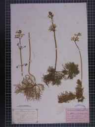 Hottonia palustris herbarium specimen from Southport, VC59 South Lancashire in 1872 by Thomas Garside.