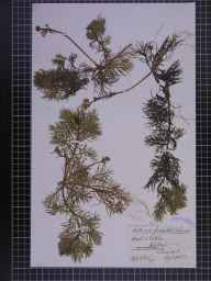 Hottonia palustris herbarium specimen from Rufford, VC59 South Lancashire in 1884 by F C King.