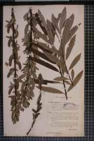 Salix viminalis x caprea x aurita = S. x stipularis herbarium specimen from Shirley, VC57 Derbyshire in 1893 by Rev William Richardson Linton.