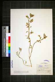 Apium nodiflorum x inundatum = A. x moorei herbarium specimen from Downpatrick, VCH38 Co. Down in 1886 by Mr Samuel Alexander Stewart.
