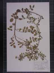 Rorippa nasturtium-aquaticum herbarium specimen from Plumley, VC58 Cheshire in 1874 by Mr Charles Bailey.