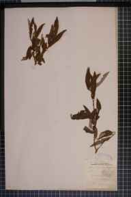 Salix viminalis x caprea x aurita = S. x stipularis herbarium specimen from Swansea, VC41 Glamorganshire in 1887 by Rev William Richardson Linton.