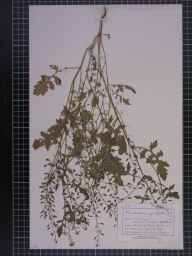 Rorippa palustris herbarium specimen from Reddish, VC59 South Lancashire in 1893 by Mr Charles Bailey.
