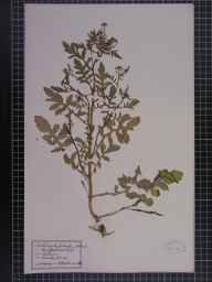 Rorippa palustris herbarium specimen from Whitegate, Bradford Mill, VC58 Cheshire in 1916 by Dr W Horton-Smith.