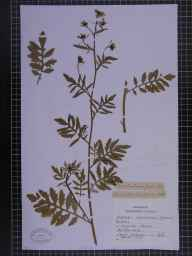 Rorippa palustris herbarium specimen from Pangbourne, VC22 Berkshire in 1895 by Chenevix-Trench.