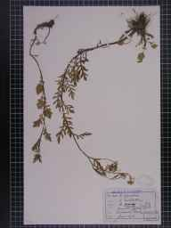 Nasturtium sylvestre herbarium specimen from Litchurch, VC57 Derbyshire in 1876 by Rev William Hunt Painter.