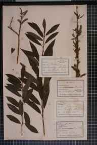 Salix viminalis x cinerea = S. x holosericea herbarium specimen from Gunstone, VC39 Staffordshire in 1875 by Dr John (Joannis) Fraser.