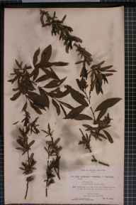 Salix viminalis x cinerea = S. x holosericea herbarium specimen from Shirley, VC57 Derbyshire in 1894 by Rev William Richardson Linton.