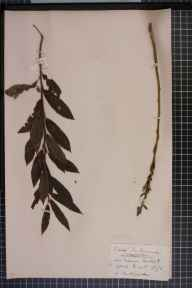 Salix viminalis x cinerea = S. x holosericea herbarium specimen from Carham, VC68 North Northumberland in 1875 by Mr Andrew Brotherston.