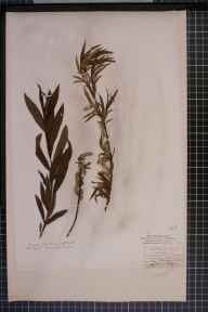 Salix viminalis x cinerea = S. x holosericea herbarium specimen from Wensley, VC65 North-west Yorkshire in 1842 by Mr James Ward.