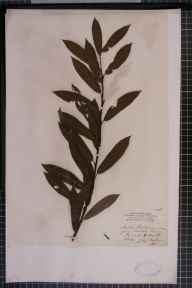 Salix viminalis x cinerea = S. x holosericea herbarium specimen from Thirsk, VC62 North-east Yorkshire in 1854 by Mr James Ward.
