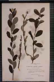 Salix viminalis x cinerea = S. x holosericea herbarium specimen from Thornhill, VC72 Dumfriesshire in 1895 by Mr James Fingland.