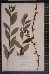 Salix viminalis x cinerea = S. x holosericea herbarium specimen from Thornhill, VC72 Dumfriesshire in 1896 by Mr James Fingland.
