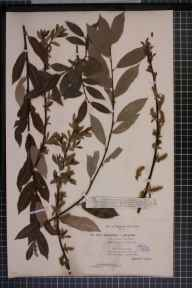 Salix viminalis x cinerea = S. x holosericea herbarium specimen from Bournemouth, VC9 Dorset in 1896 by Mr James Fingland.