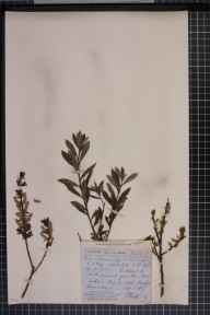Salix viminalis x cinerea = S. x holosericea herbarium specimen collected in 1866 by Rev. John Ewbank Leefe.