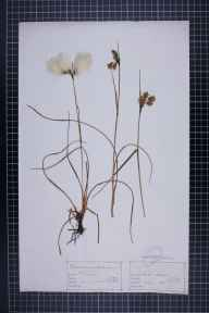 Eriophorum angustifolium herbarium specimen from Hale Moss, VC69 Westmorland in 1867 by Mr John Barrow.