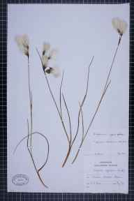 Eriophorum angustifolium herbarium specimen from Delamere, VC58 Cheshire in 1964 by Clive Anthony Stace.