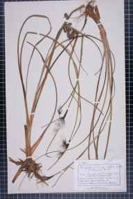 Eriophorum angustifolium herbarium specimen from Bournemouth, VC11 South Hampshire in 1883 by Mr Charles Bailey.