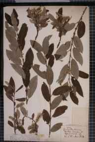 Salix viminalis x cinerea = S. x holosericea herbarium specimen from Hatton, VC38 Warwickshire in 1878 by Dr Robert Large Baker.