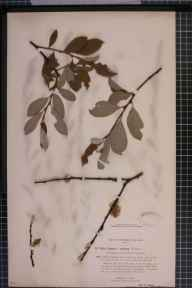 Salix caprea x cinerea = S. x reichardtii herbarium specimen from Edlaston, VC57 Derbyshire in 1895 by Rev William Richardson Linton.