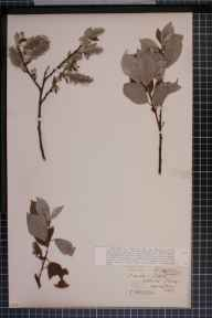 Salix caprea x aurita = S. x capreola herbarium specimen from Edlaston, VC57 Derbyshire in 1893 by Rev William Richardson Linton.